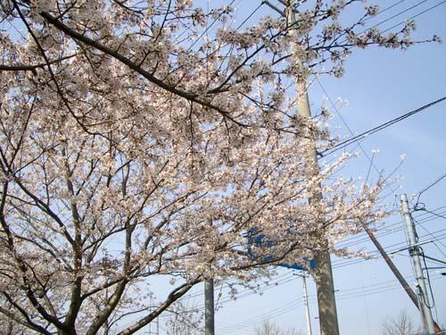 桜を独占。