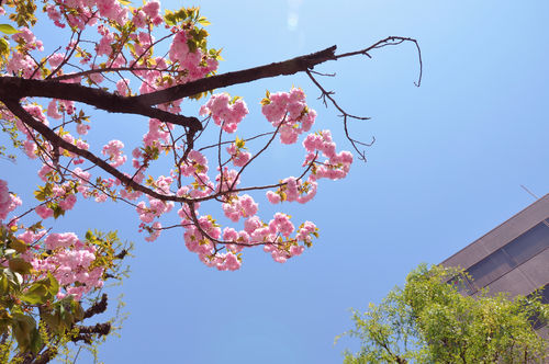 今日の一枚「八重桜?」