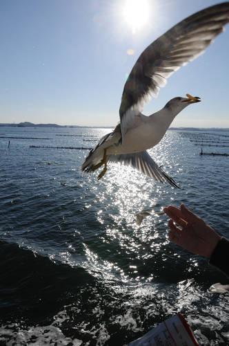 今日の一枚「松島のカモメ」
