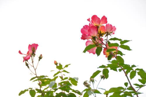 今日の一枚「夏の終わりのバラ」