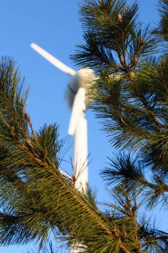 今日の一枚「松からのぞく風車」