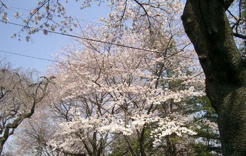 でも,桜はなかなかきれいだった。